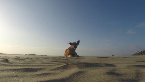 Dog on the beach Footage