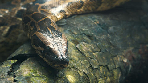 Burmese python on the branches Footage