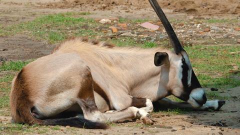 large african antelope Footage