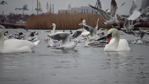 The ecological problem is white swans, ducks and seagulls in the seaport waters Live Action