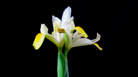 Time Lapse - Two white Iris blooming and and withering with black background Footage