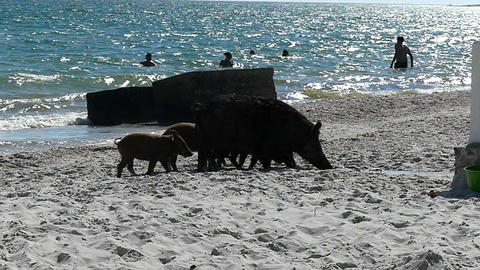 A farrow of piglets and a wild boar on a seacoast with people Live Action