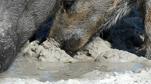 A wild boar with piglets eat some food on sandy coast in slo-mo Footage