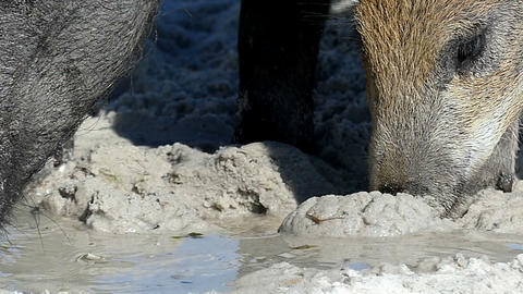 A wild boar with piglets eat some food on sandy coast in... Stock Video Footage