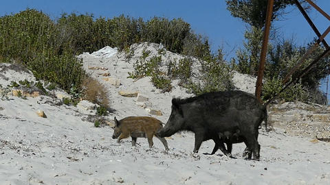 A female wild boar walks with piglets on the sandy seacoast in slo-mo Live Action
