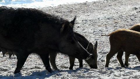 A wild boar with piglets walk on sandy eacoast in slo-mo Footage