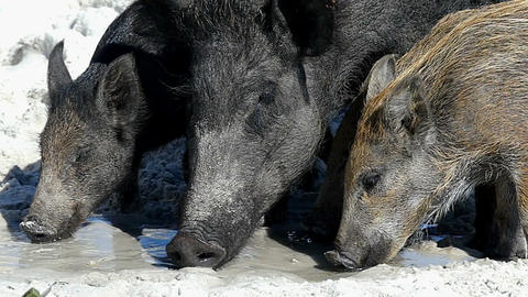 A wild boar with piglets seek food n sandy eacoast in slo-mo Live Action
