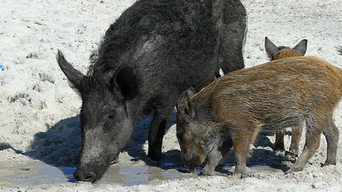 A wild boar with piglets eat some food on sandy coast in slo-mo Live Action