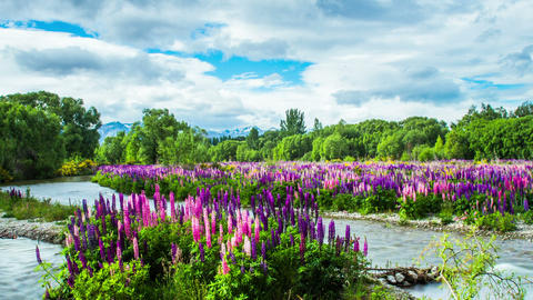 Time Lapse - Beautiful Lupine Flower Growing on the River Footage