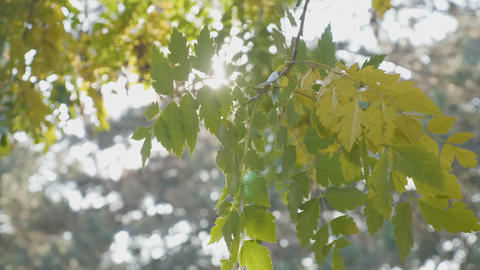 Tree branch with yellow leaves blown by the wind and sun shining over it on an Footage