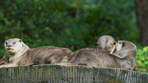 Group of otters Footage