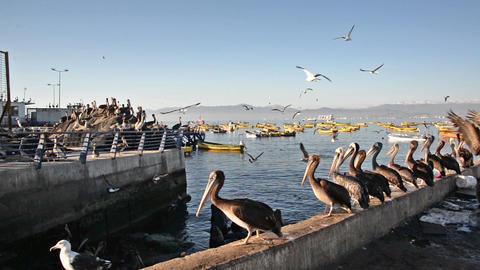 Pelicans in a Harbor Footage