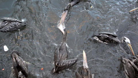 Pelicans and Sea Lions Footage