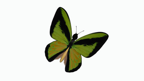 a butterfly flaps its wings close-up of an alpha channel Animation
