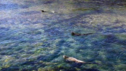 Swimming Marine Iguanas Footage