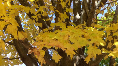 Yellow Tree Branches With Falling Leaves Blowing In The Autumn Wind stock footage