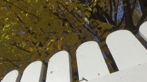 Autumn landscape with a maple tree, falling leaves and picket fences Footage