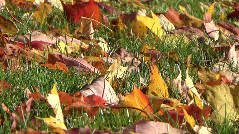 Colourful fallen maple leaves on the green grass ground in autumn Footage