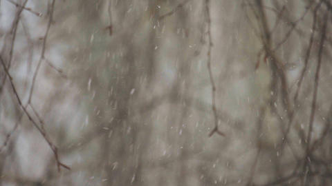 Snow falls slowly in the branches of trees Footage
