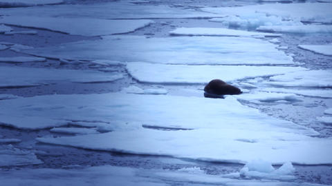 walrus with short tusks lying on ice during icebreaker Live Action
