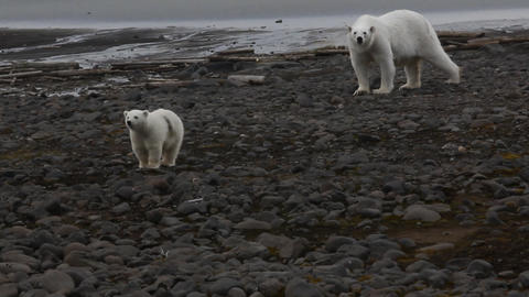 Polar Bears Female with cub is approaching camp Footage