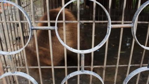 Brown bear circus rhythm Stock Video Footage