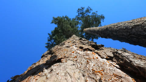 Old pine tree. View shooting along trunk Live Action