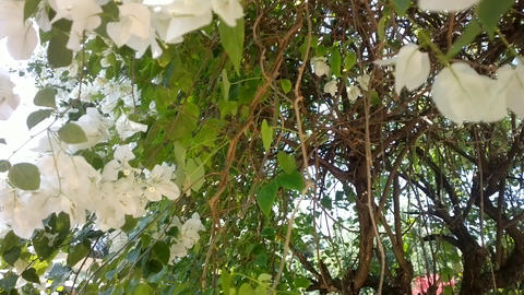 Vine with white flowers. India Live Action