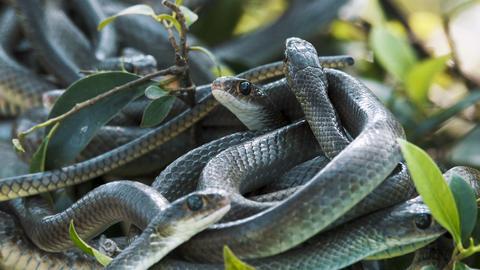 Oriental rat snakes Footage