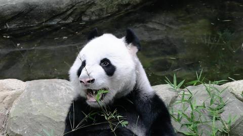 Panda enjoys eating bamboo leaves on poolside Footage