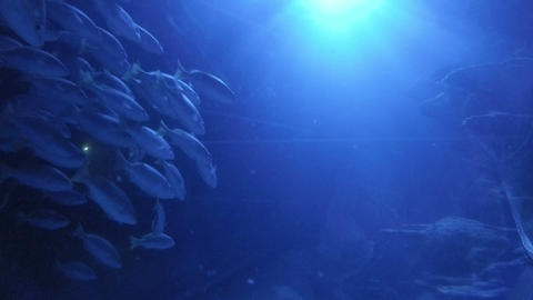 Amazing group of fishes in aquarium swimming with grace in blue water ocean life Footage