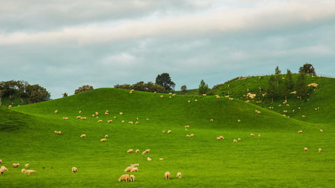 Time Lapse - Group of Sheeps Grazing on the Hills in New Zealand Footage