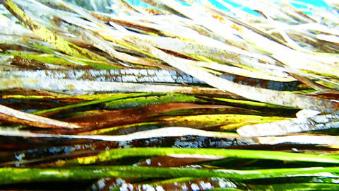 Colourful tapes of neptune grass swaying underwater Footage