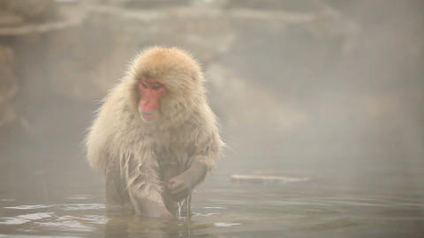 Japanese Snow Monkeys In Hot Spring 영상물