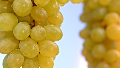 Close-up shot of yellow grapes on a sky backrgound Footage