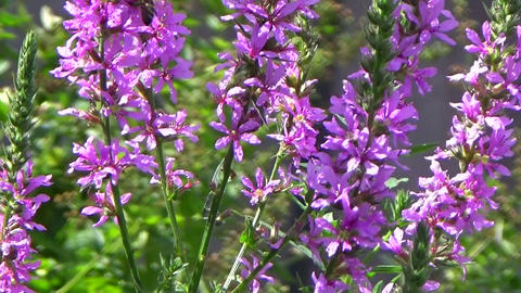 A field of purple loosestrife flowers and bees pollinating in the summer wind Footage