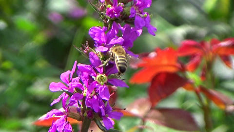 Garden Scene With Purple Loosestrife Flowers And Bees Pollinating stock footage