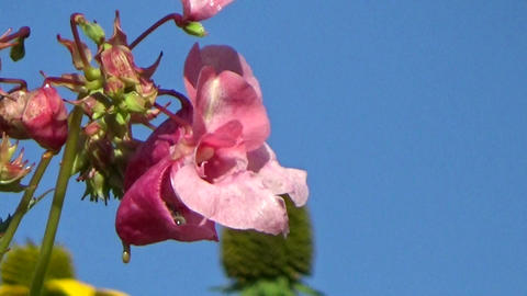 A bee eating nectar on a pink Balsam flower blowing in the summer wind Footage