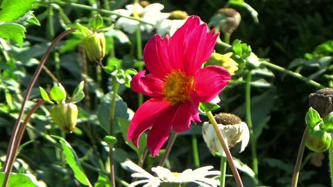 Garden scene with a beautiful red chrysanthemum flower blowing in the wind Footage