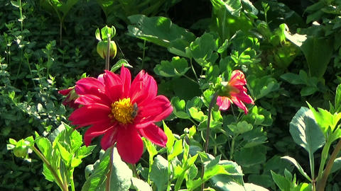 Garden scene with bees pollinating red chrysanthemum flowers Footage