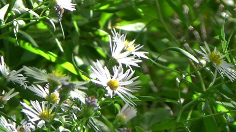 Chamomile flowers and sun rays on a lush green background Footage