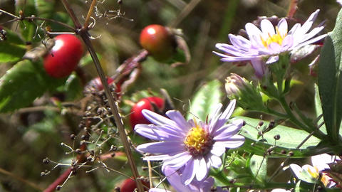Aster and berries summer flowers blowing in the wind Footage