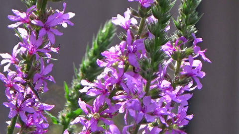 Bees pollinating a purple loosestrife flower blowing in the summer wind Footage
