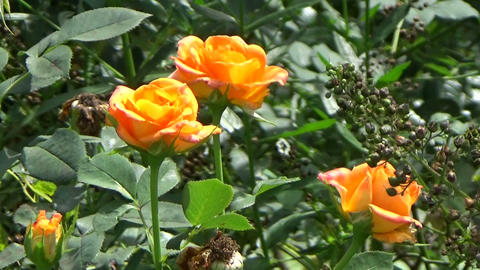 Orange roses in the garden during summertime Footage