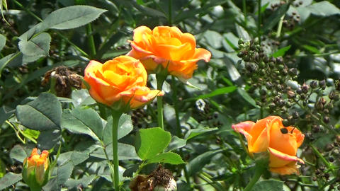 Orange roses in the garden during summertime Stock Video Footage