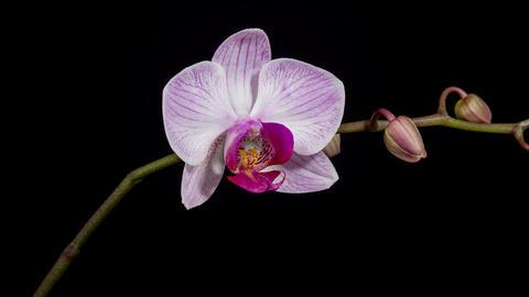 Orchid flower blooming timelapse 4K Footage