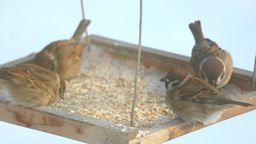 Sparrows pecking grain in the bird feeder Footage