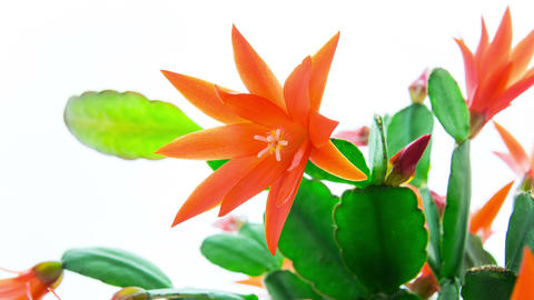 Red Easter Cactus Flower Opening and Closing Timelapse 4K Footage