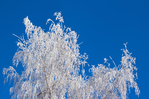Tree branches in the frost on a blue sky background フォト