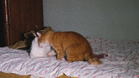Two funny cats play with each other on the bed, 4k Stock Video Footage